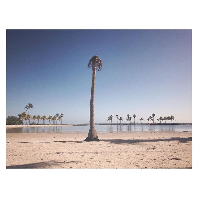 #Miami, #Florida: #winter with #tropical vibes.  #Picture shot from the #lagoon at Matheson Hammock. I #travel deep in the pull of this shallow #ocean, rising #like tides in the moonlight🏝🏝🏝🏝🏝🏝🏝 All #Landscape is a mediation, a fabrication. A built #environment, like #architecture, but with #nature as material. It is naturalistic, but not entirely nature. Not wilderness. We form it, and as such, its form reveals the politics and philosophies of the people and  #culture that #design and consume it. [Disruptions in #Paradise, an ongoing #art project, a #citizen #scientist cataloging #dead #palmtrees using #iphone #photography and sometimes clickbait #poetry. Paying attention to things we are programmed not to see, like our past present and  #future histories]