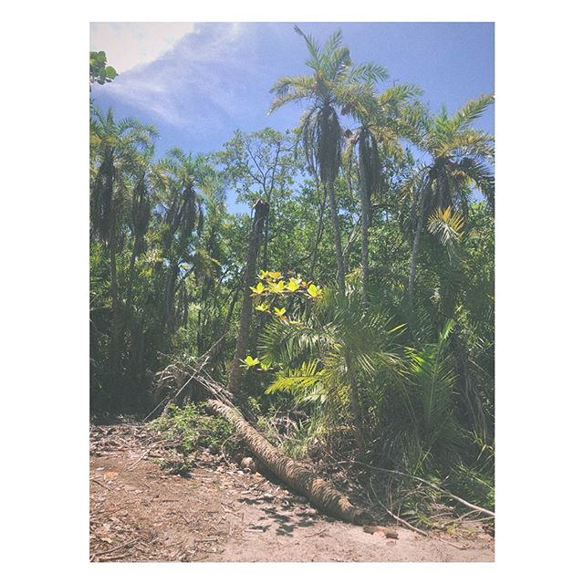 #Tropical milieu: full honesty, impossible as #death in the mind of the living... #Life is a #summer haze. #Like seeing through a glass, dimly. Or a mirror that reveals only past or future. Tense. 🌑  Never fully present, never fully aware. Yet somehow 💯 #here. 🌍 🌎 🌏 . . . . [Disruptions in #Paradise, an ongoing #art project, a #citizen #scientist cataloging #dead #palmtrees using #landscape, #ocean and #nature #photography. Stream of #consciousness #poetry. Paying attention to things we are programmed not to see, like our dreams manifest as destiny, or #wanderlust picts as yesterday's #travel diary. Maybe everything is no thing... maybe there is more than what the eyes can see? We are all so limited in our understanding. So we sleep with eyes wide open. Keep walking. Listening.]