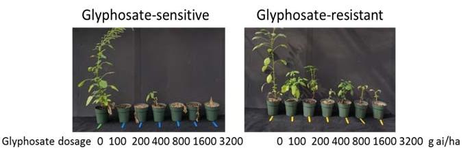 Glyphosate-senstive and resistant  Amaranthus plamerii