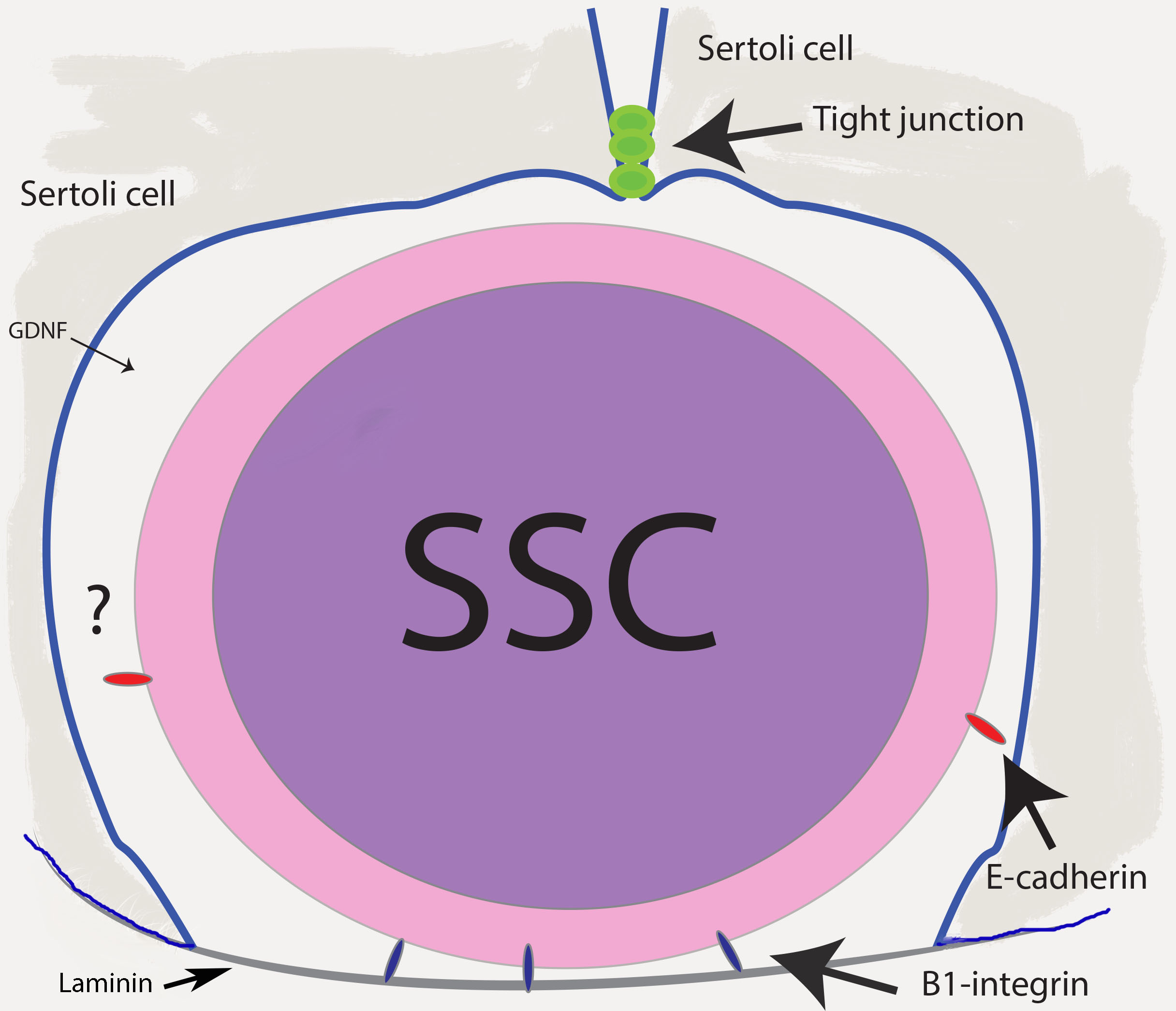 Spermatogonial stem cells (SSC) reside in a specialized environment (niche) within the seminiferous tubules.
