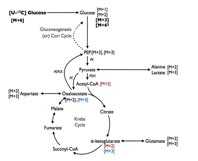 Fluxomics can identify specific pathways metabolizing heavy isotope labelled substrates. The schematic illustrates the metabolism of carbon-13 labelled glucose . M refers to mass, so Acetyl-Co A with M+2 contains two carbon-13 isotopes.