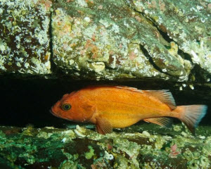 Yelloweye Rockfish in Nanoose bay_Credit Tristan Blaine_thumb.jpg