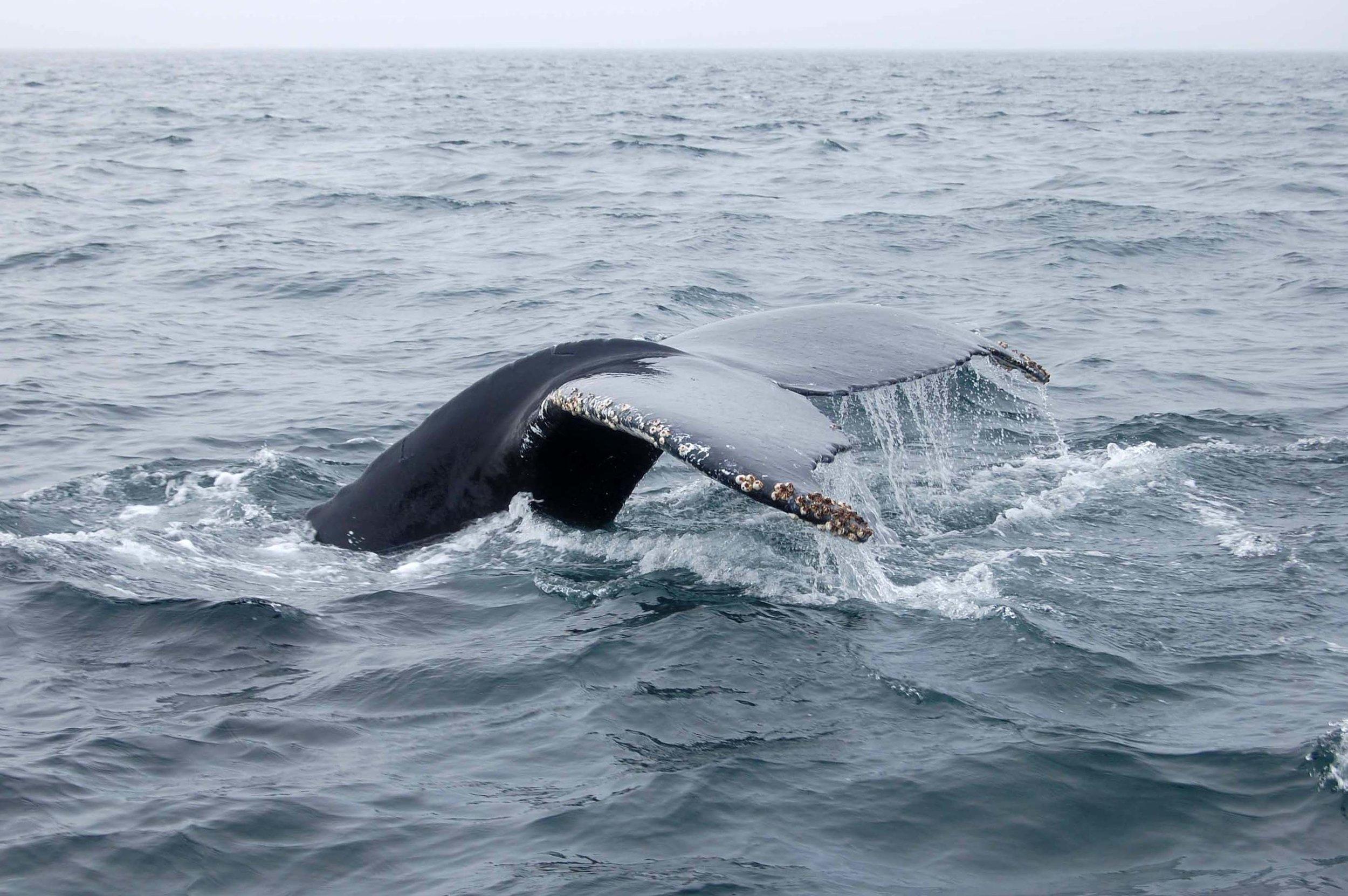 Humpback whale off Nova Scotia