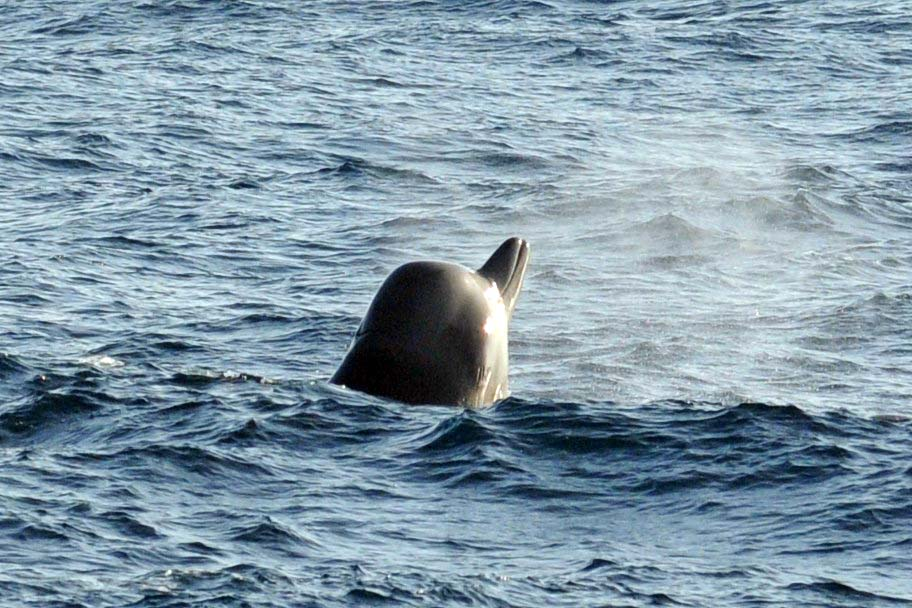 Northern bottlenose whale in the Gully Marine Protected Area