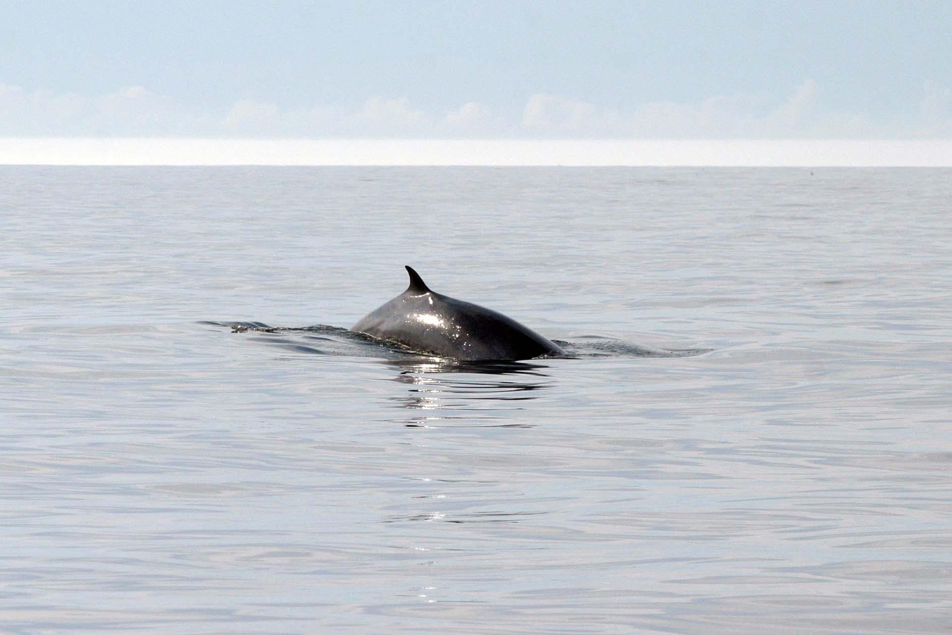 Fin whale off Nova Scotia