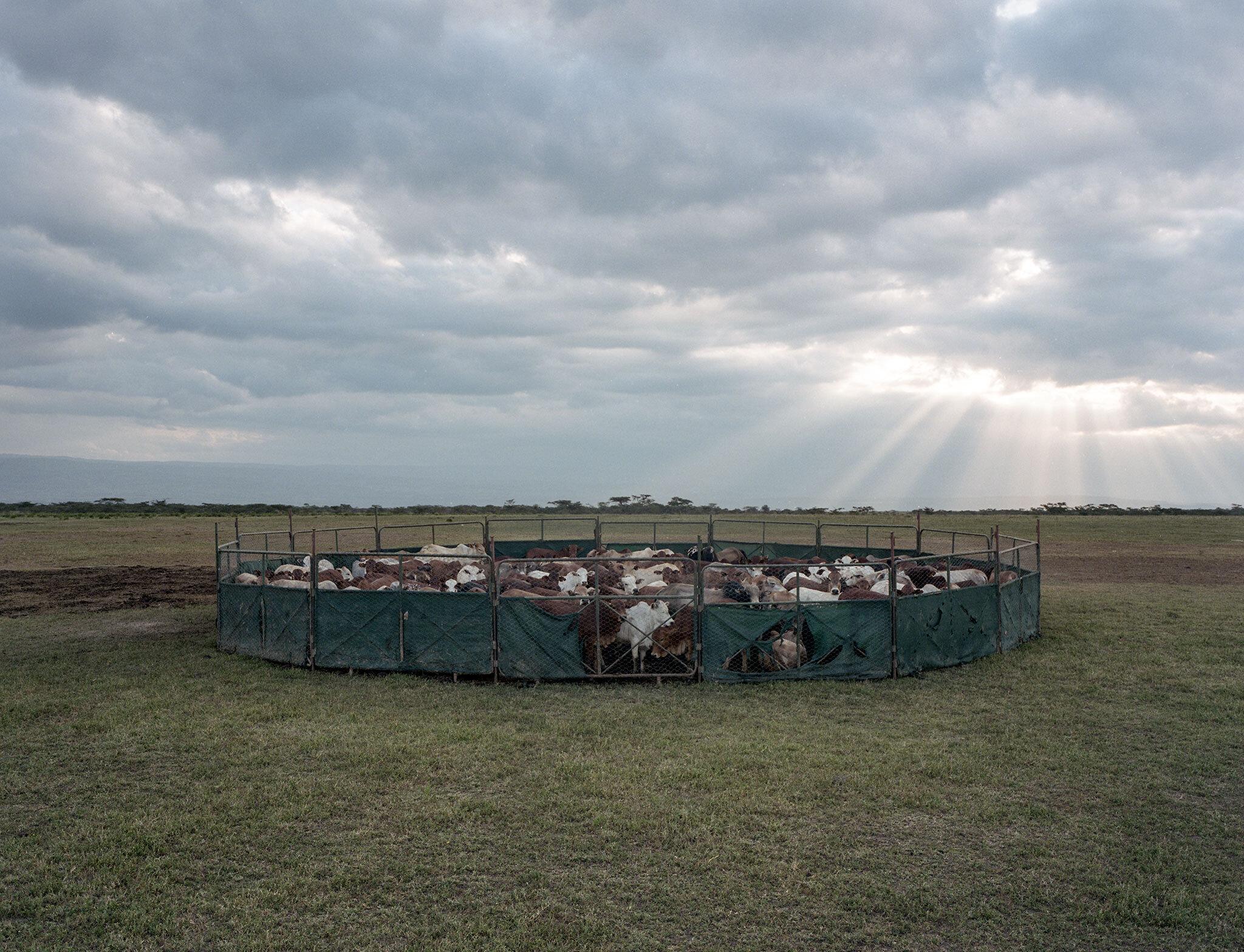 Boma enclosure, Soysambu