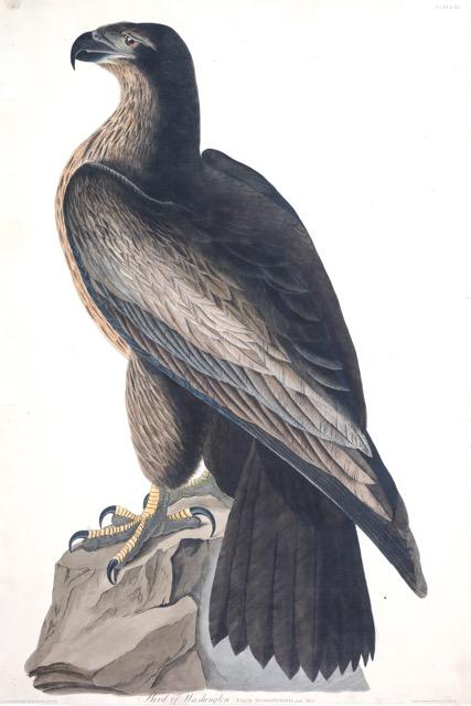 Plate-11-Bird-of-Washington.jpg