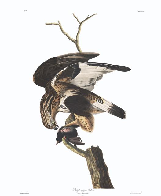 plate-166-rough-legged-falcon-final.jpg