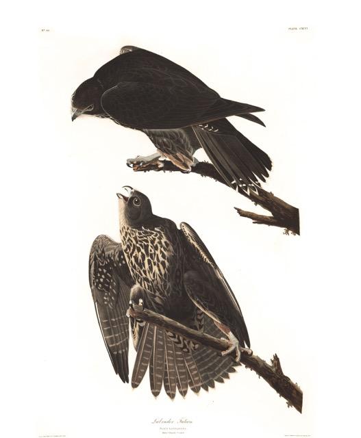 plate-196-labrador-falcon-599.jpg