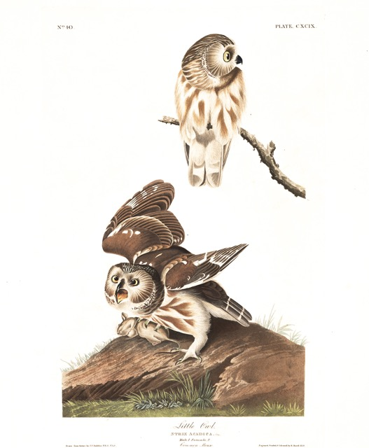 plate-199-little-owl-283.jpg