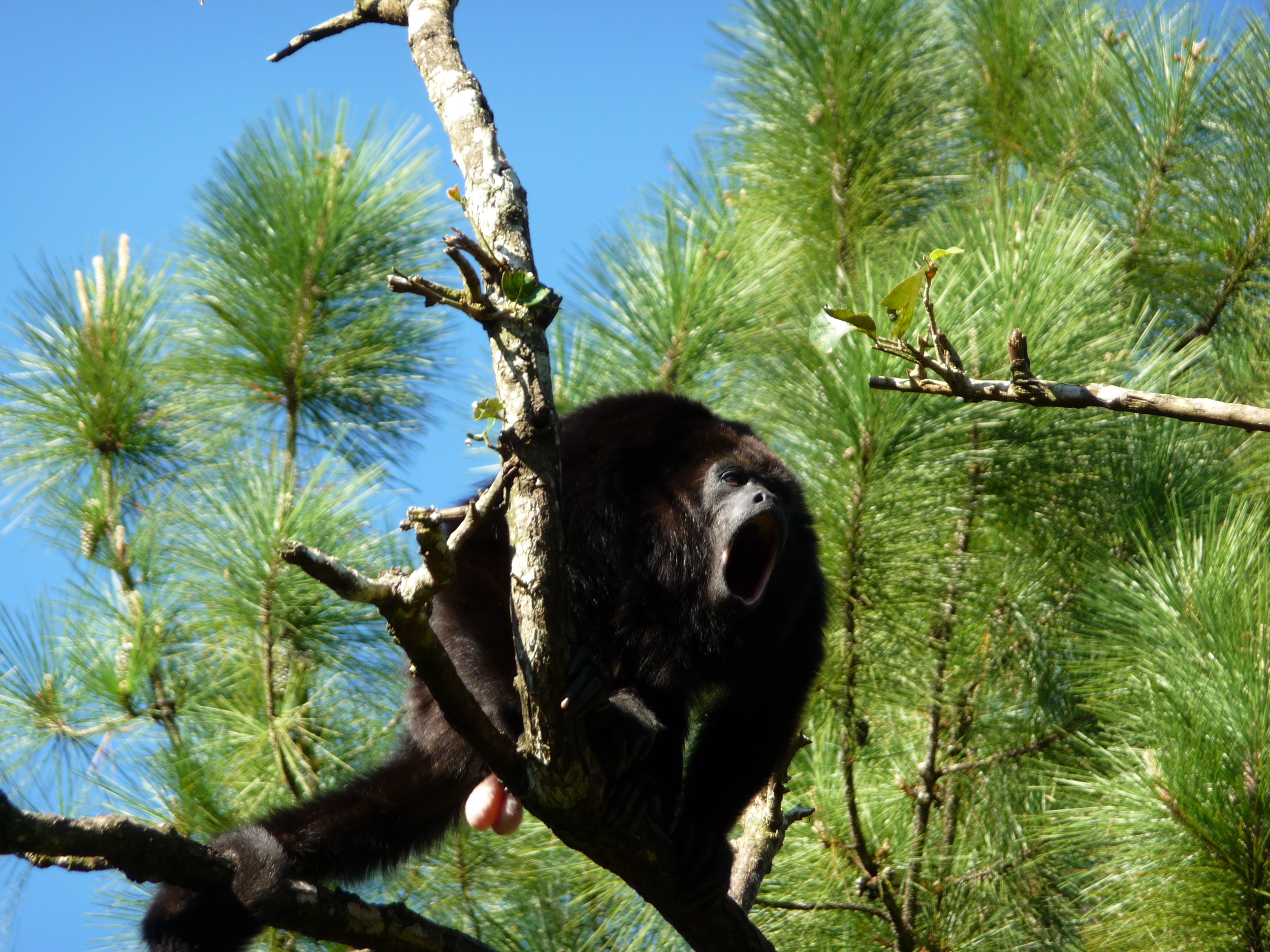 A Mexican Black Howler Monkey calls to other nearby males