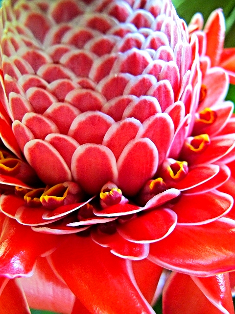 Torch Ginger - Belize Vacations - SabreWing Travel
