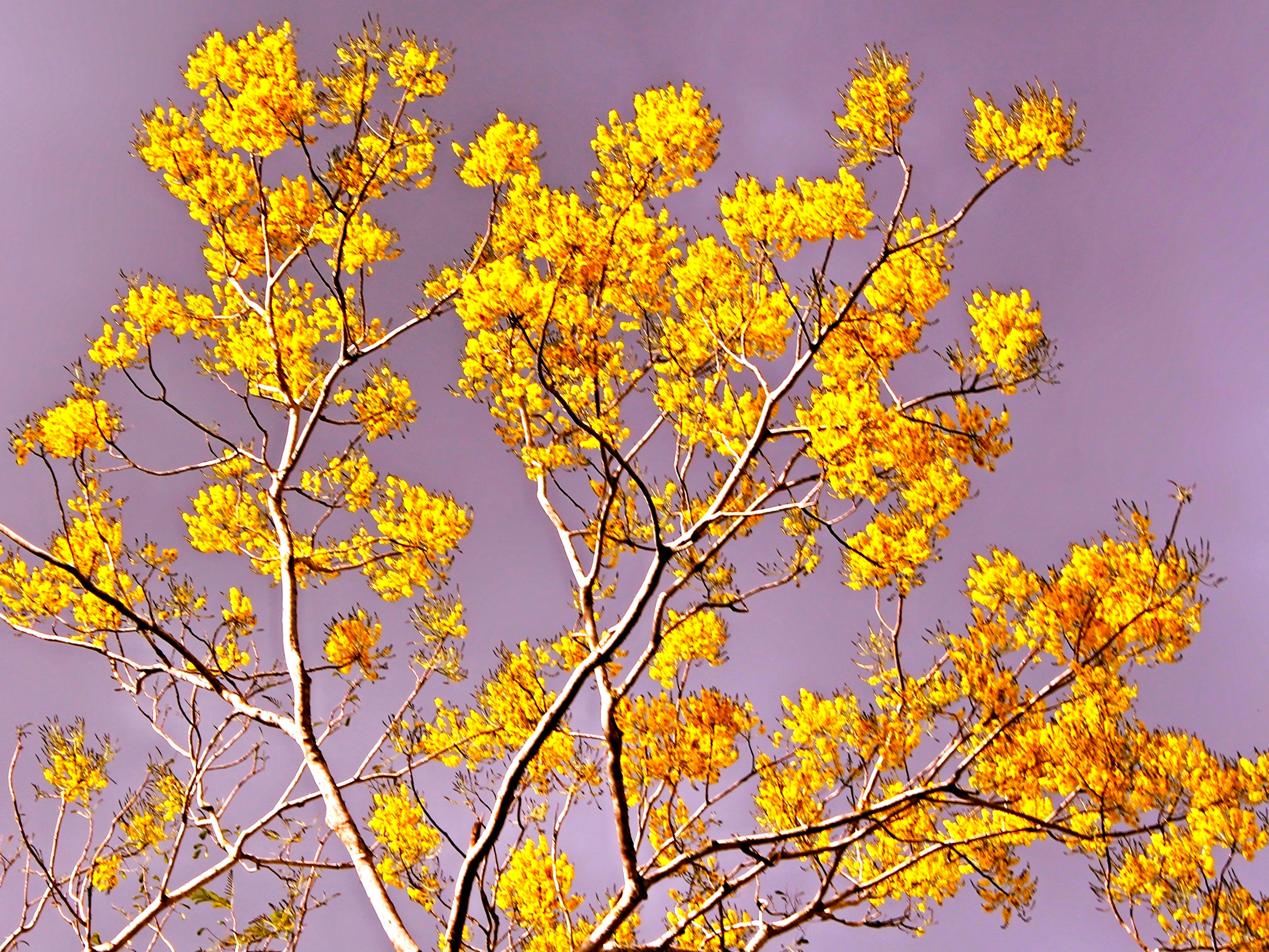 Quam Tree in full bloom - Belize Vacations - SabreWing Travel