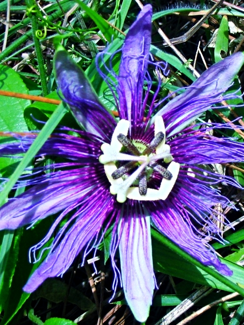 Passion Flower - Belize Vacation Packages - SabreWing Travel