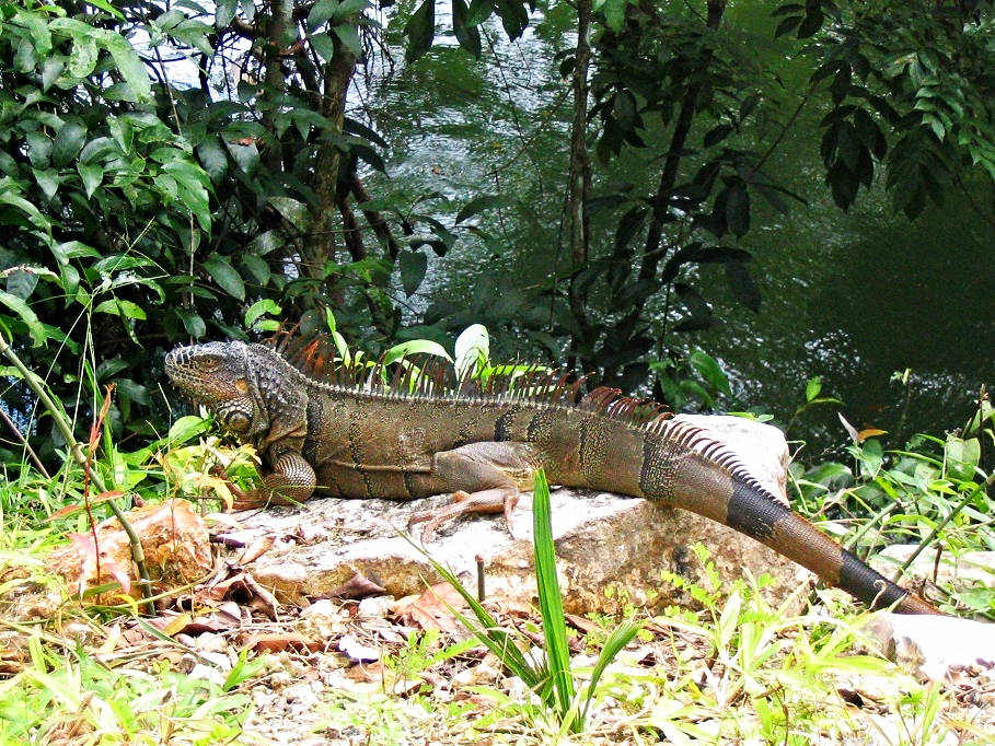 Green Iguana - Cayo District - Belize Vacation Packages - SabreWing Travel - Photo by David Berg