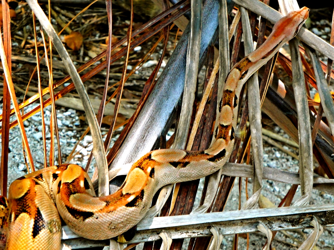 Boa Contrictor - Snake Cayes - Belize Vacation Packages - SabreWing Travel - Photo by David Berg
