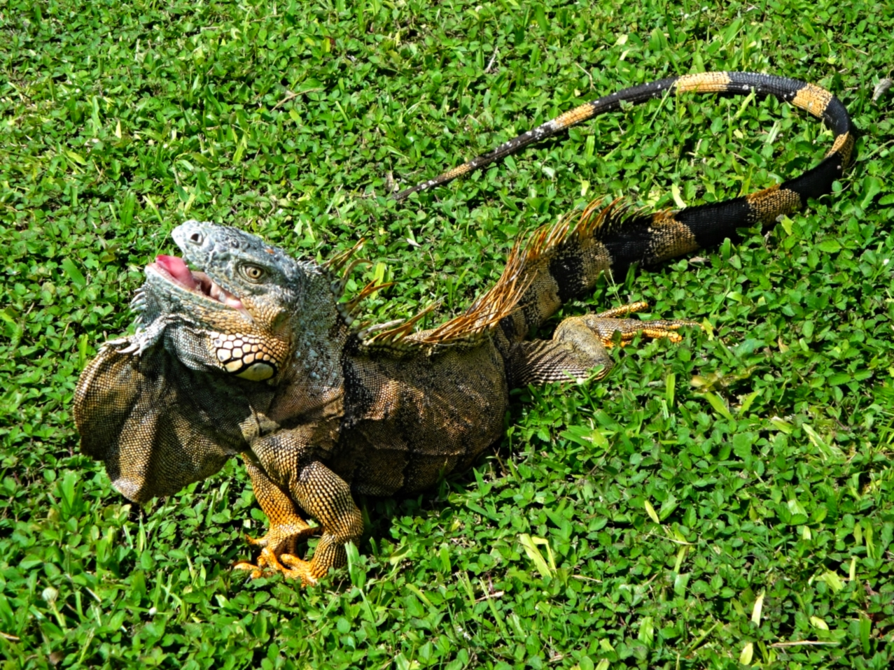 Male Green Iguana - Cayo - Belize Vacation Packages - SabreWing Travel - Photo by David Berg