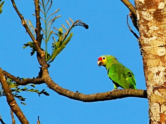 Red Lorred Parrot - Bird-watching - Belize Birding Vacations - Belize Vacation Packages - SabreWing Travel