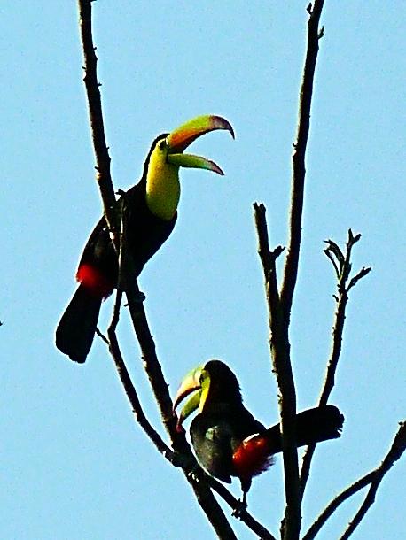 Keel-Billed Toucan - Bird-watching - Belize Birding Vacations - Belize Vacation Packages - SabreWing Travel