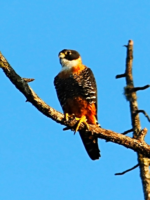 Orange Breasted Falcon - Bird-watching - Belize Birding Vacations - Belize Vacation Packages - SabreWing Travel