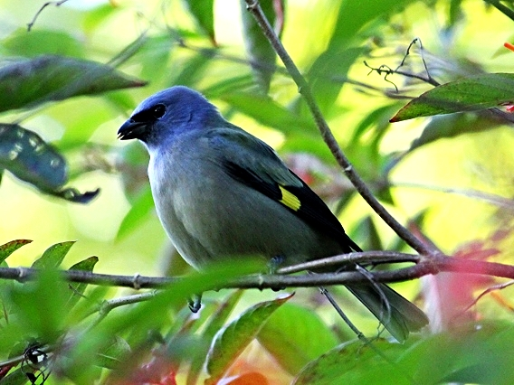 Yellow Winged Tanager - Bird-watching - Belize Birding Vacations - Belize Vacation Packages - SabreWing Travel