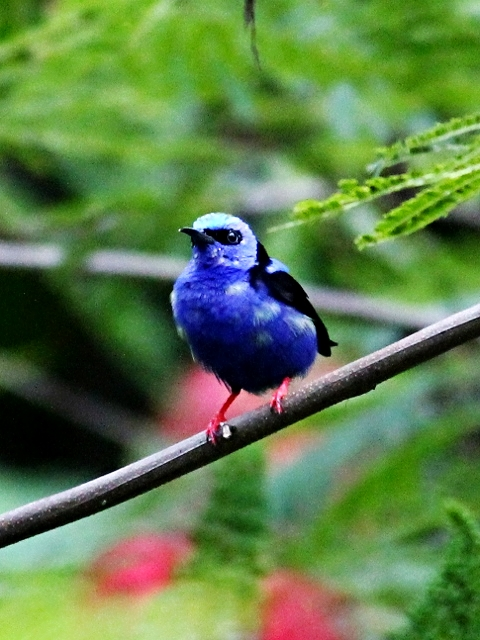 Red-legged Honeycreeper - Bird-watching - Belize Birding Vacations - Belize Vacation Packages - SabreWing Travel