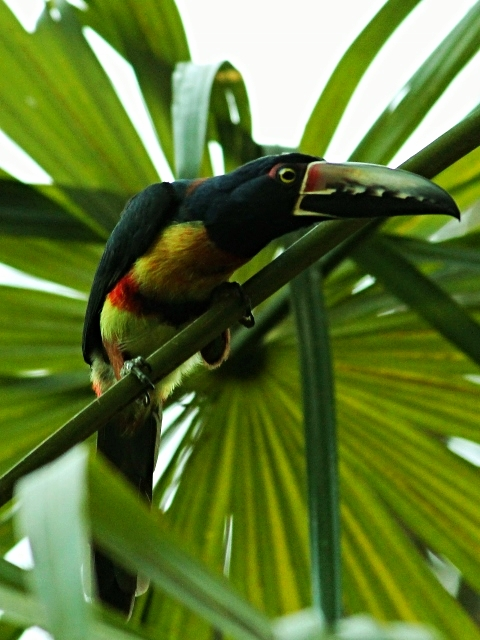 Collared Aracari - Bird-watching - Belize Birding Vacations - Belize Vacation Packages - SabreWing Travel
