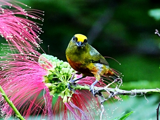 Olive Backed Euphonia - Bird-watching - Belize Birding Vacations - Belize Vacation Packages - SabreWing Travel