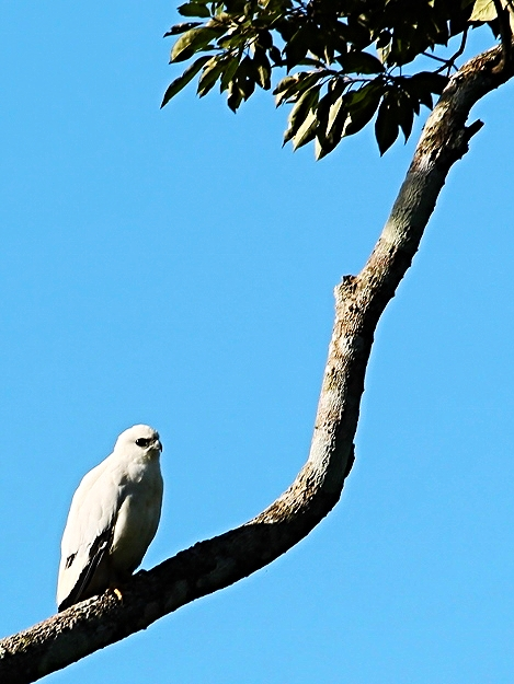 White Hawk - Bird-watching - Belize Birding Vacations - Belize Vacation Packages - SabreWing Travel
