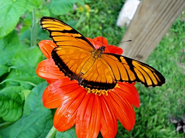Julia Butterfly - Belize Vacation Packages - SabreWing Travel - Photo by David Berg