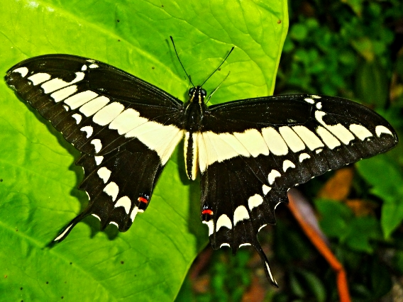 Swallowtail Butterfly - Belize Vacation Packages - SabreWing Travel - Photo by David Berg