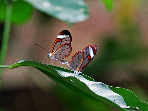 Glass Wing Butterfly - Belize Vacation Packages - SabreWing Travel - Photo by David Berg