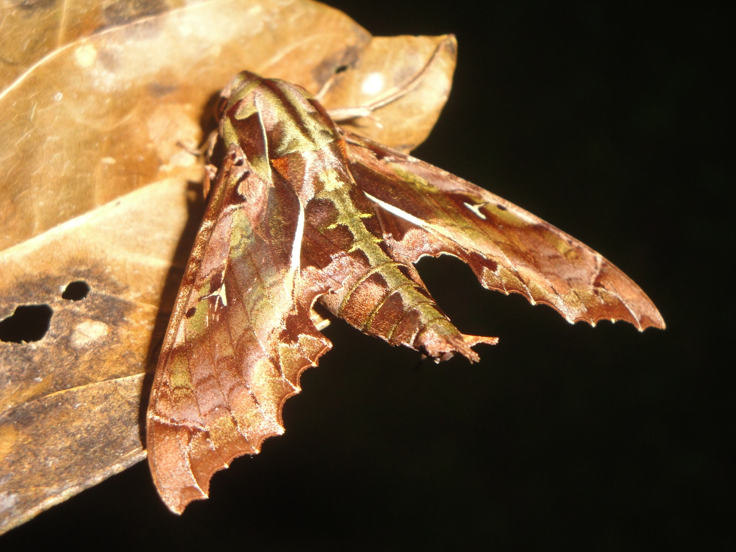 Spinx Moth Sp. - Belize Vacation Packages - SabreWing Travel - Photo by David Berg