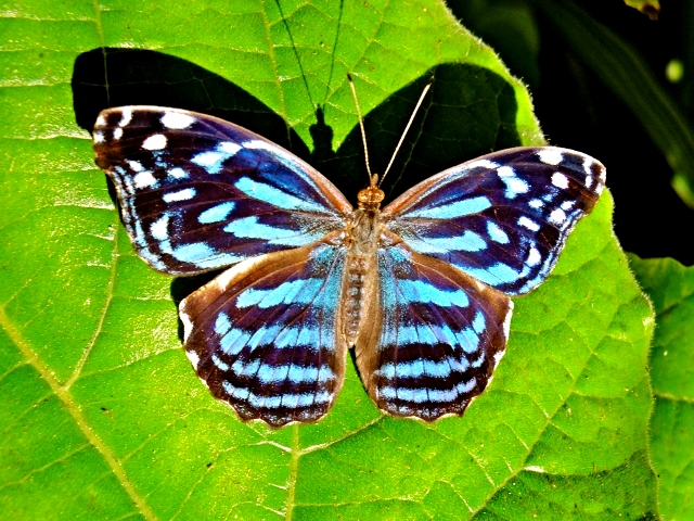 Mexican Blue Wing Butterfly - Belize Vacation Packages - SabreWing Travel - Photo by David Berg