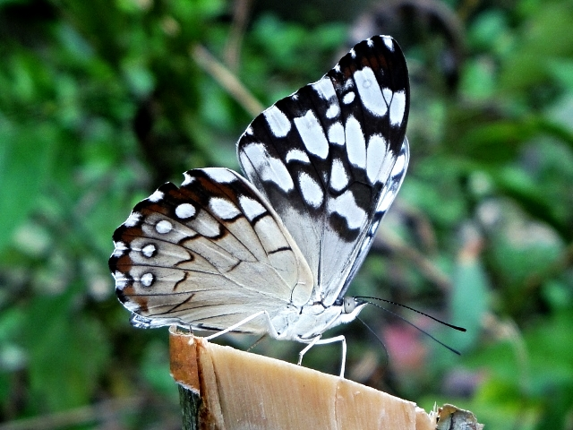 Belize Butterfly - Belize Vacation Packages - SabreWing Travel - Photo by David Berg