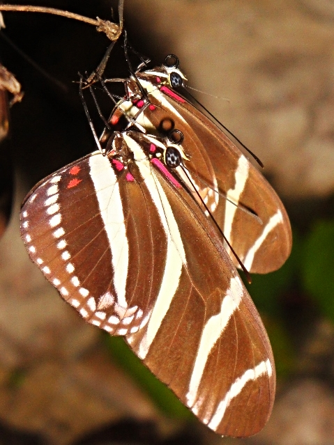 Heliconia Butterfly roosting - Belize Vacation Packages - SabreWing Travel - Photo by David Berg