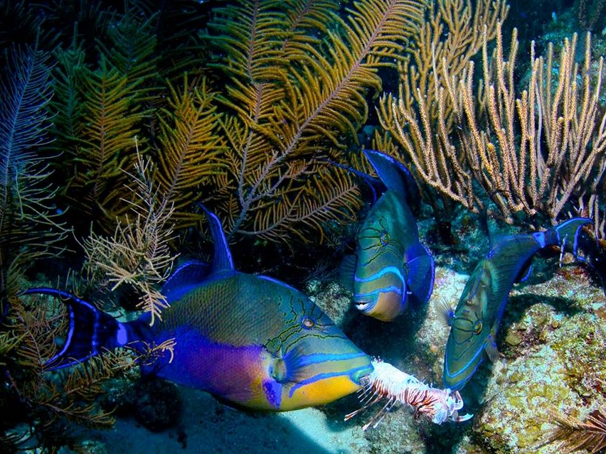 Queen Trigger Fish among the corals at Glover's Reef, Isla Marisol