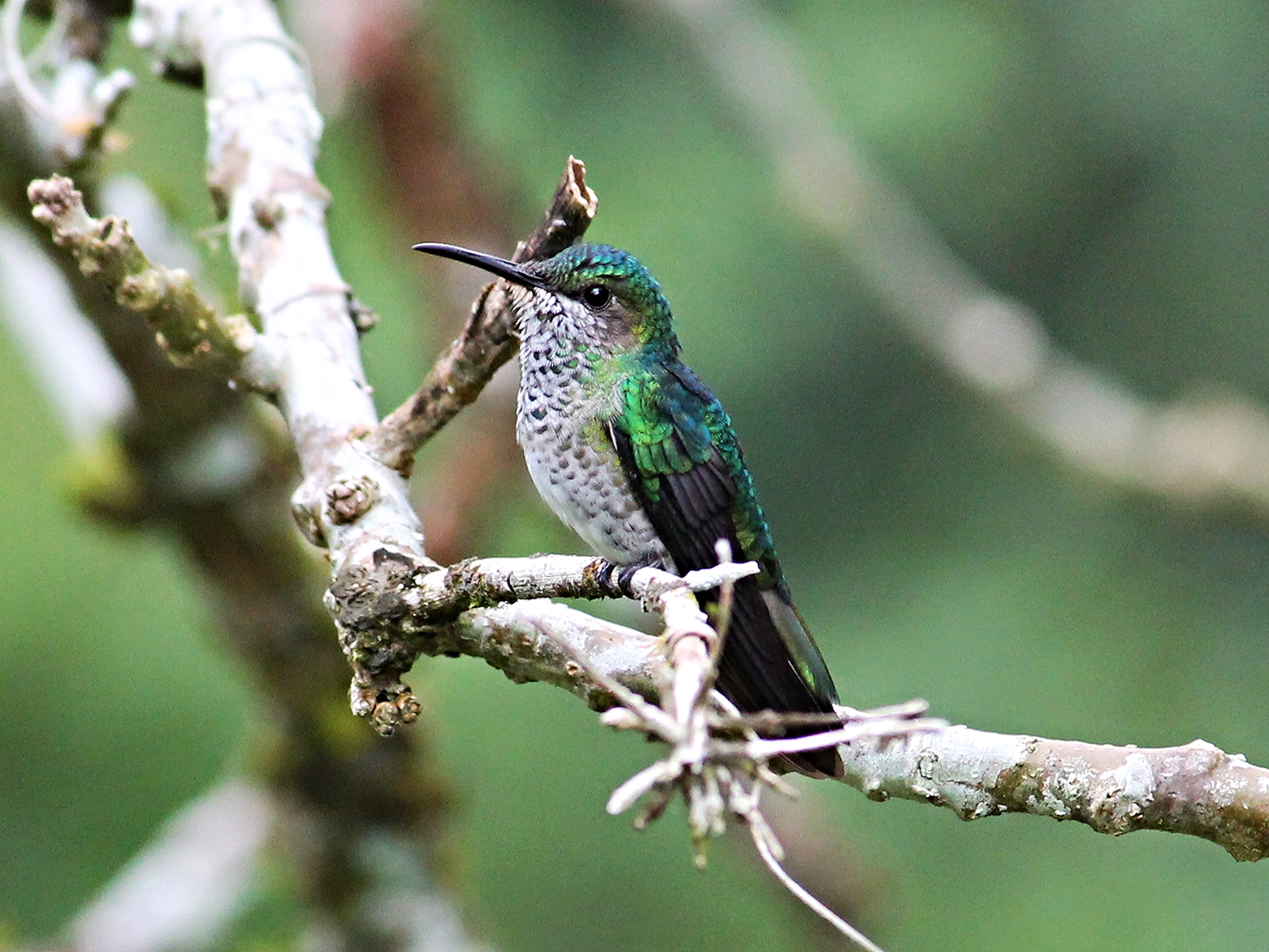 A female White-Necked Jacobin takes a rare break from constant motion