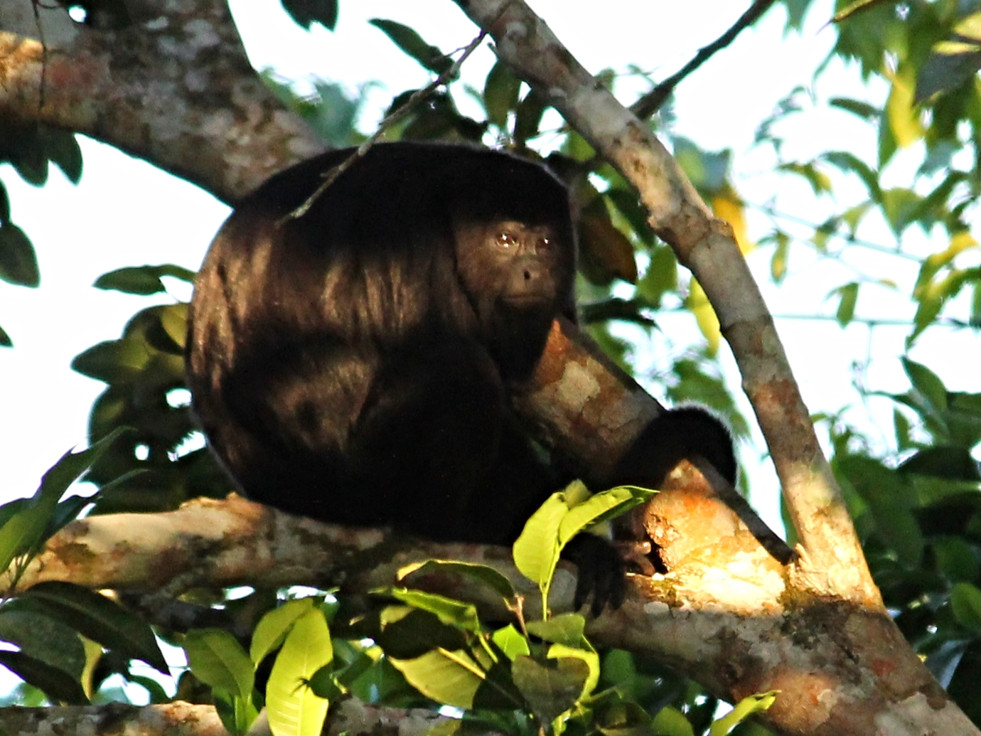 A Howler Monkey peers into the sunset at Pook's Hill Lodge