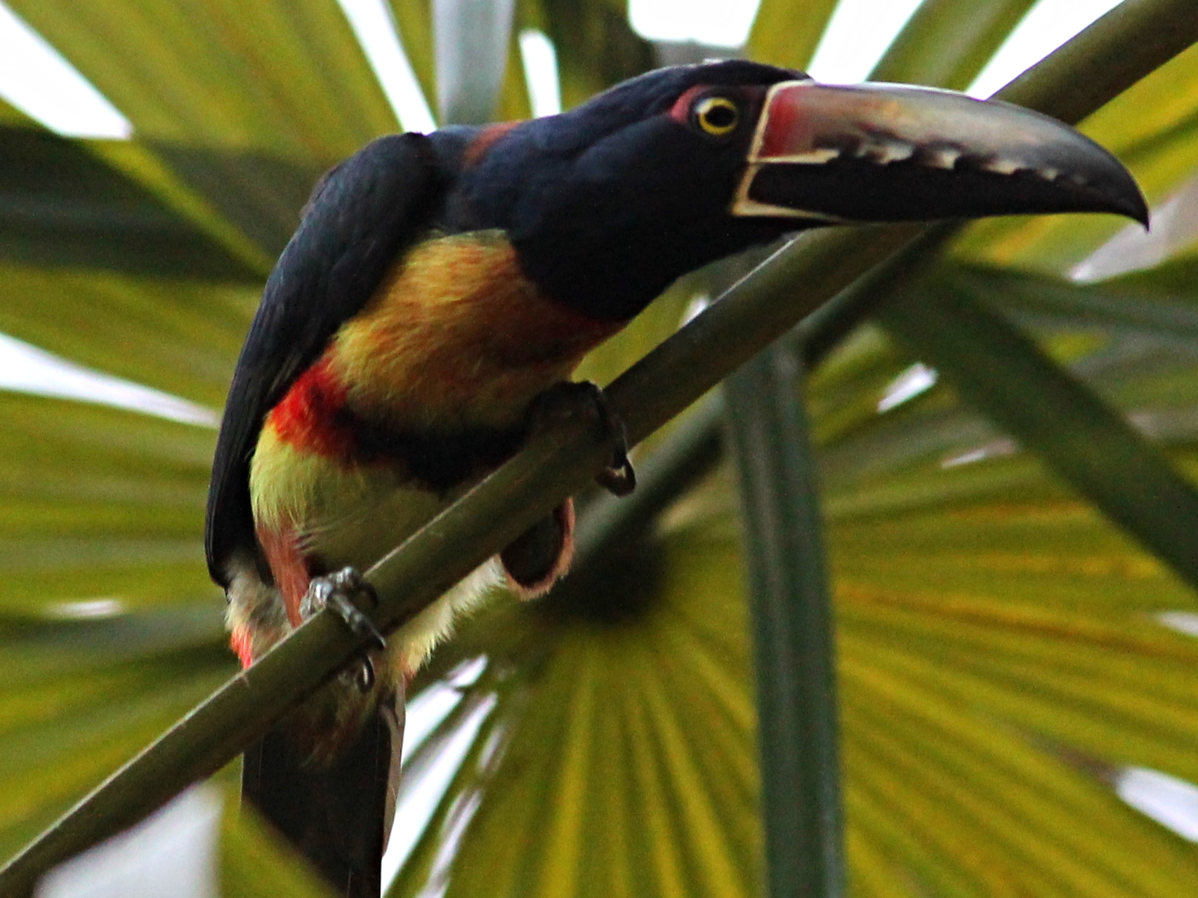 A Collared Aracari prepares for flight at Pook's Hill Lodge