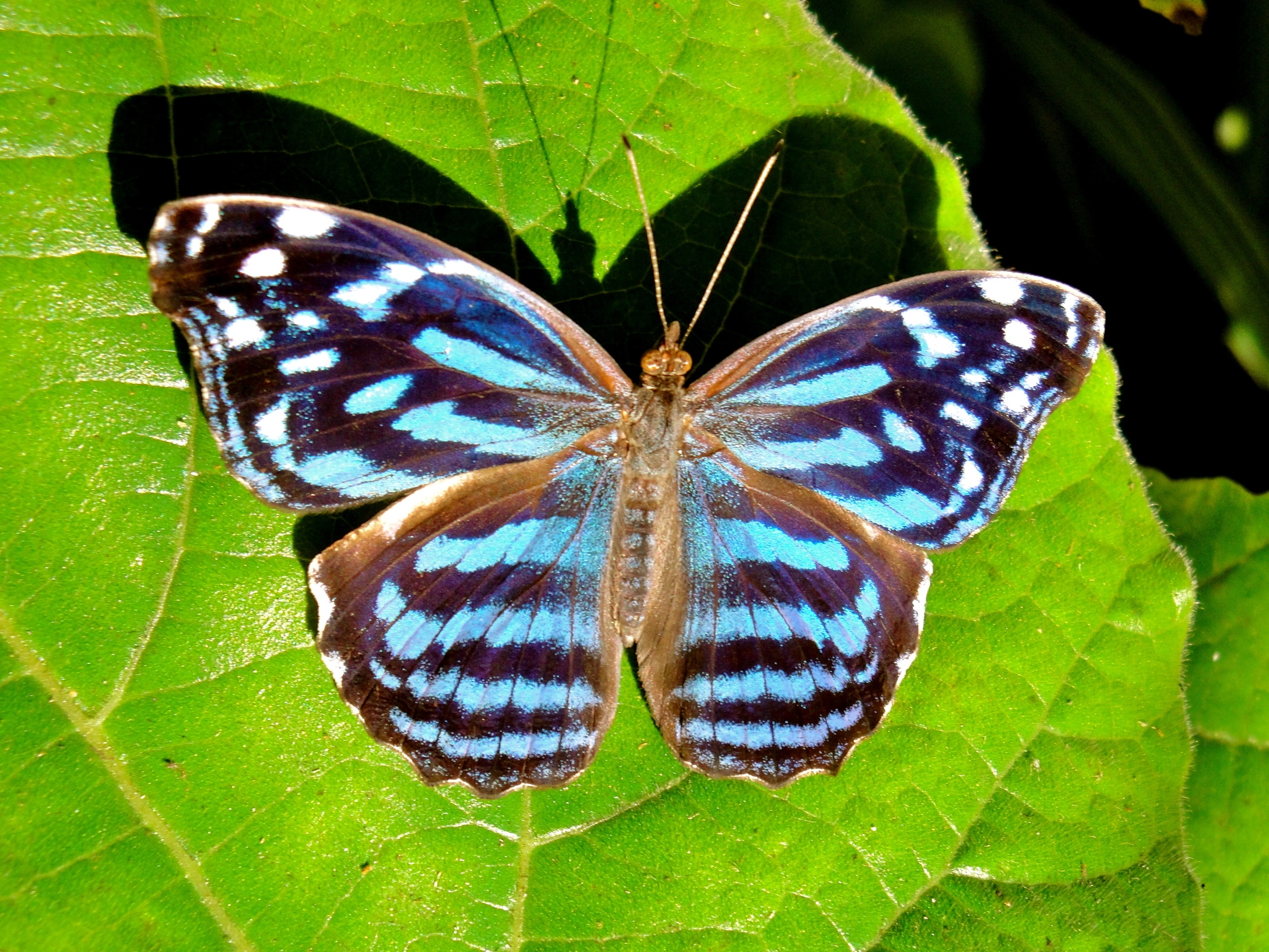 A Blue Mexican Butterfly warms its wings at the Green Hills Butterfly Farm