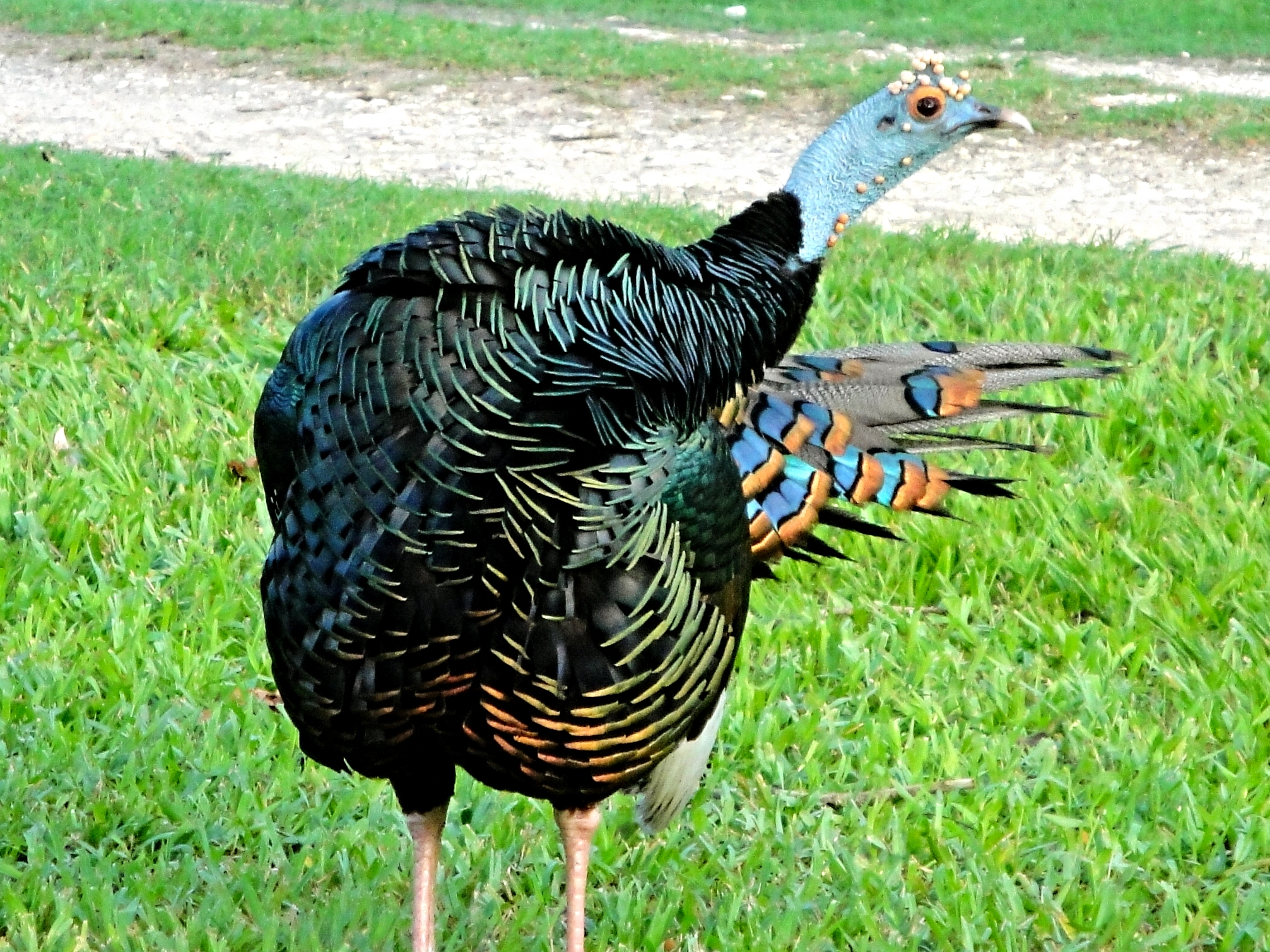 An Ocellated Turkey strikes a pose