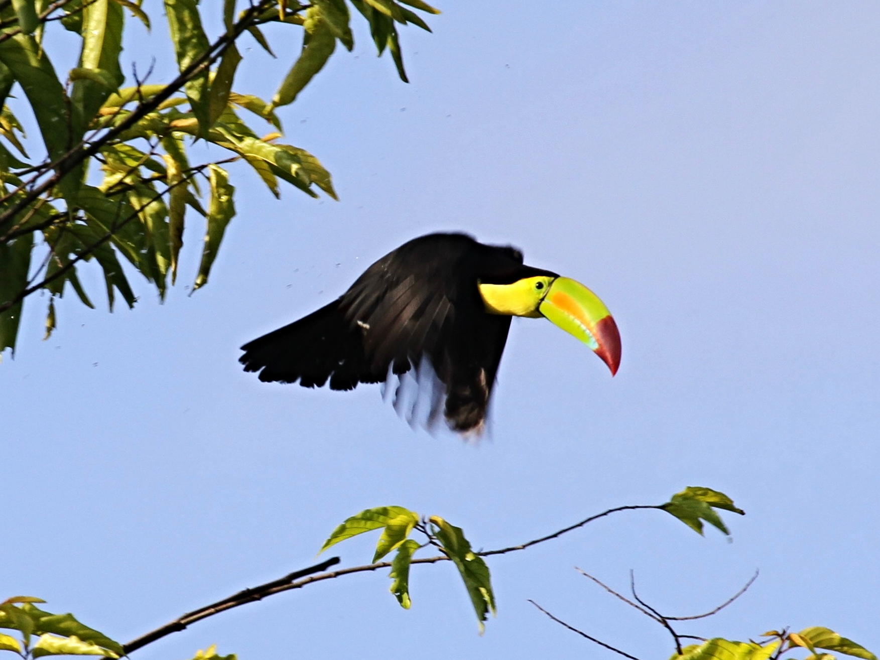 A Keel-Billed Toucan soars through the trees in the morning light