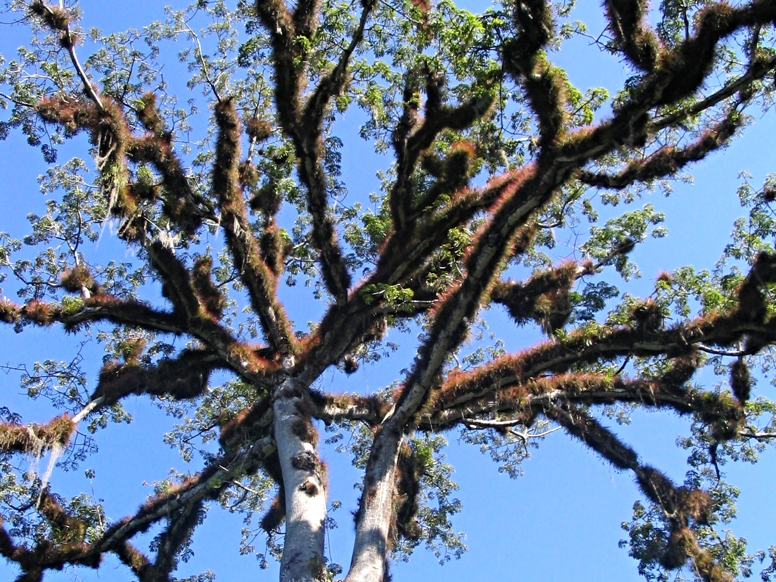 The Ceiba Tree is sacred to Maya people and among the tallest trees in the forest