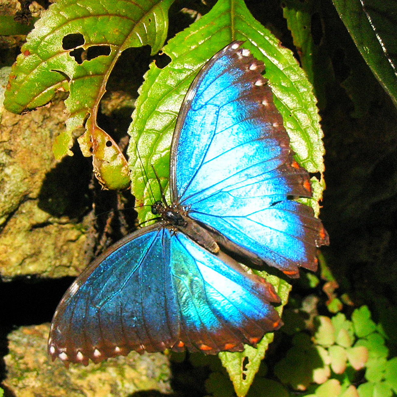 A Blue Morpho Butterfly suns itself in the Belize Jungle