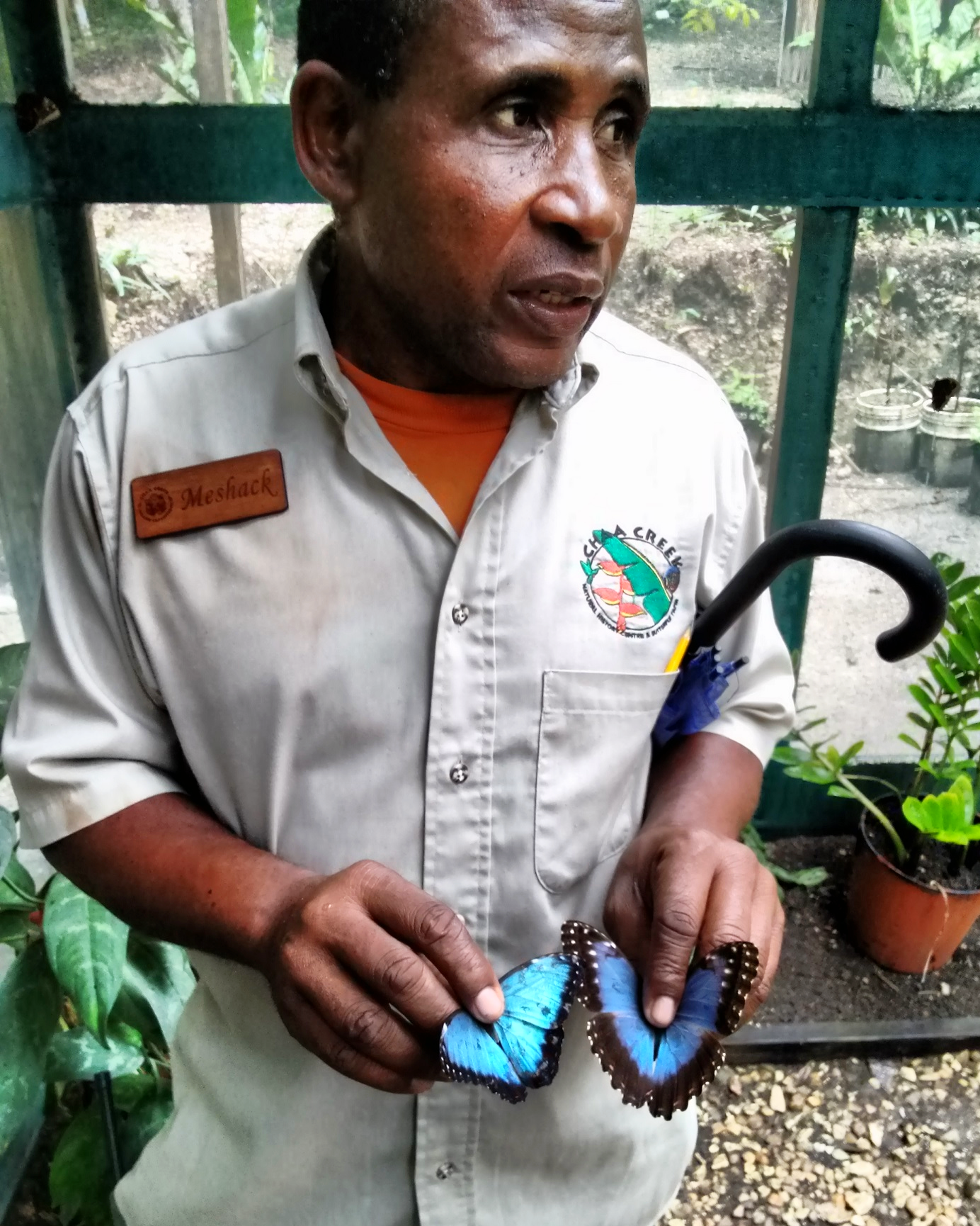 Meshak explains about the life cycle of the Blue Morpho at the Chaa Creek Natural History Center