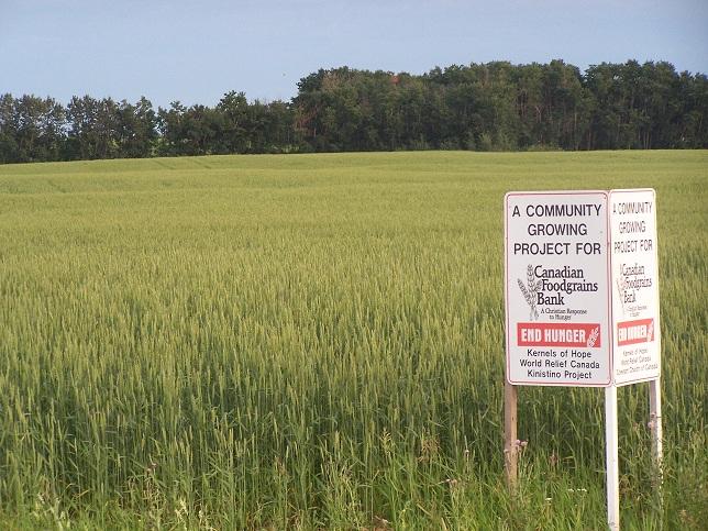 Goodeve wheat, 2011.