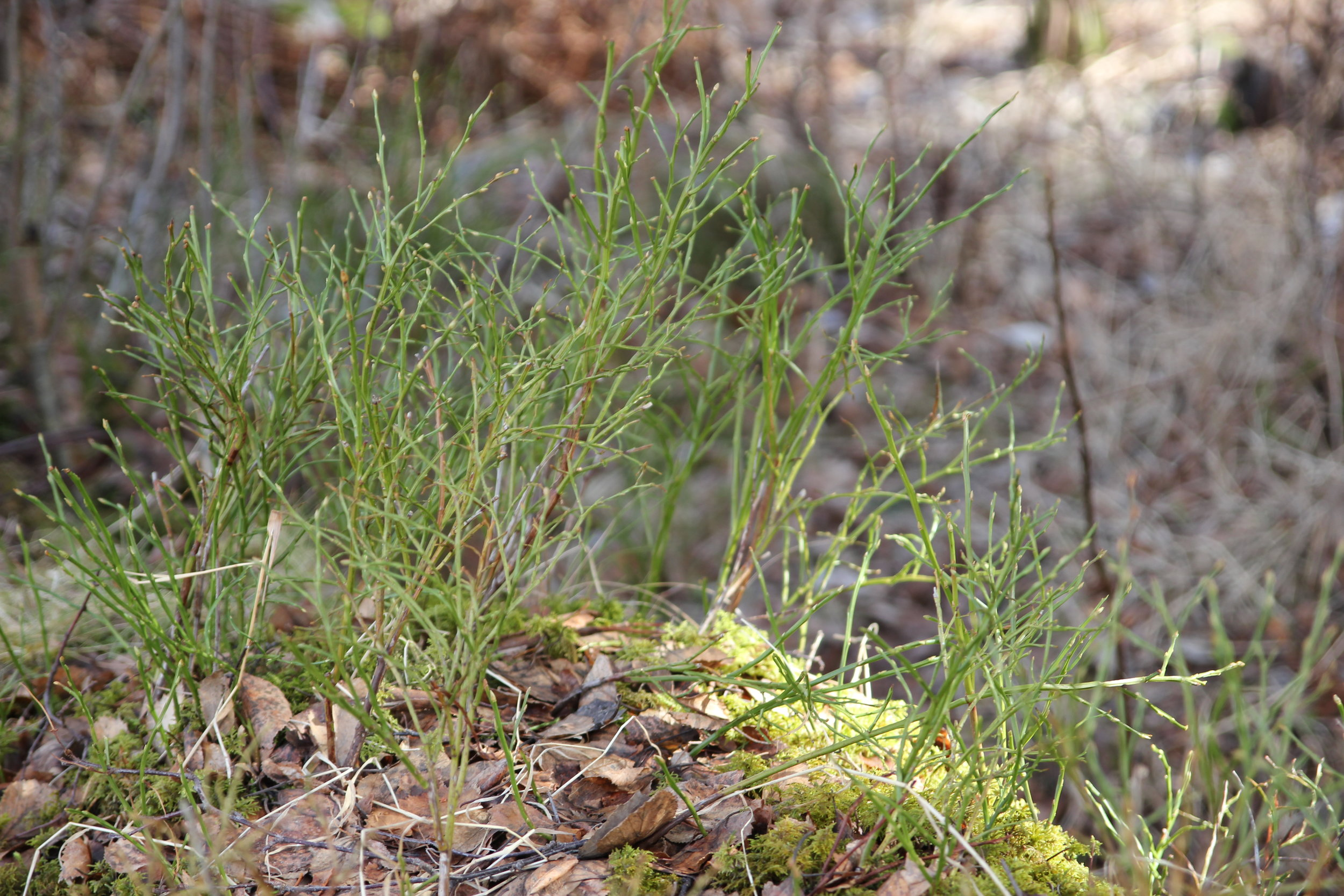 Some young Horsetail returning to the forest.