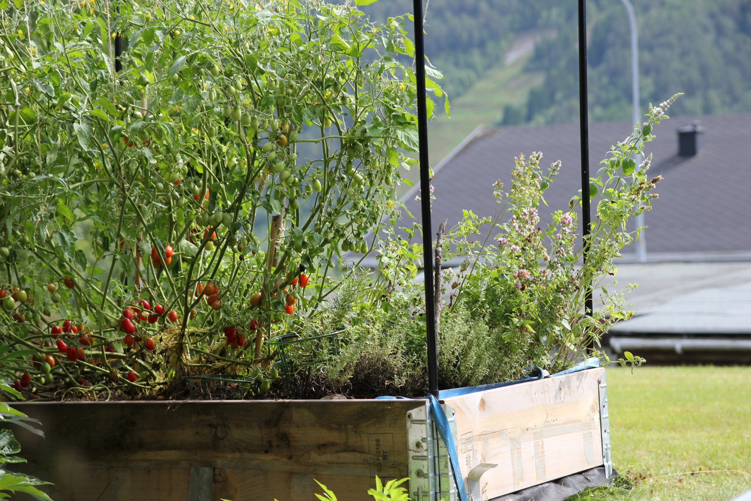 Tomatoes, chillies and herbs in our tiny patch in the garden. More coming along as the Summer sun is still warm!