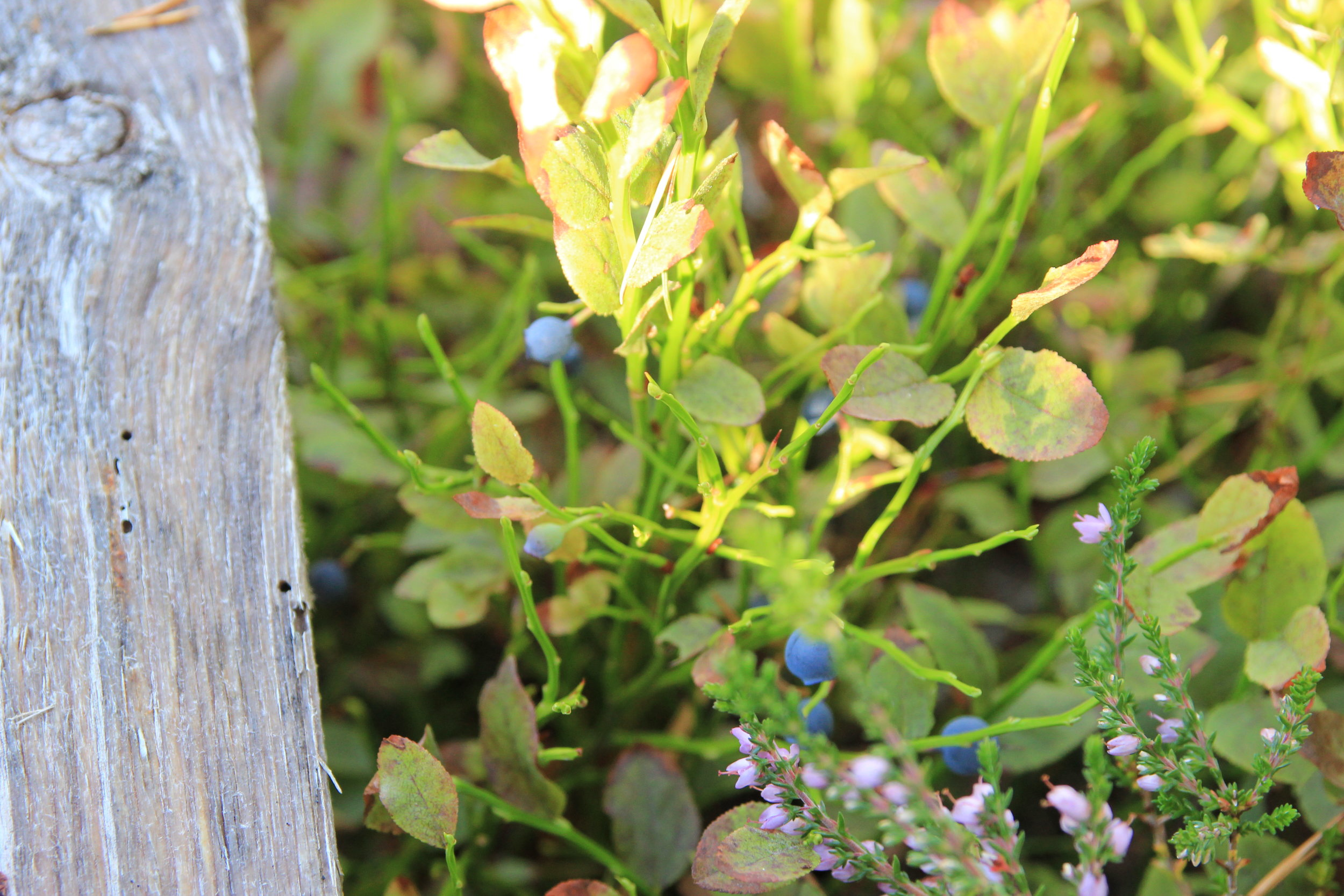 Blueberries and rosslyng.